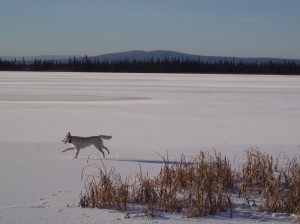 Dog running on a frozen lake