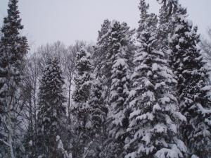 snow in the trees