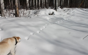 dog smelling tracks
