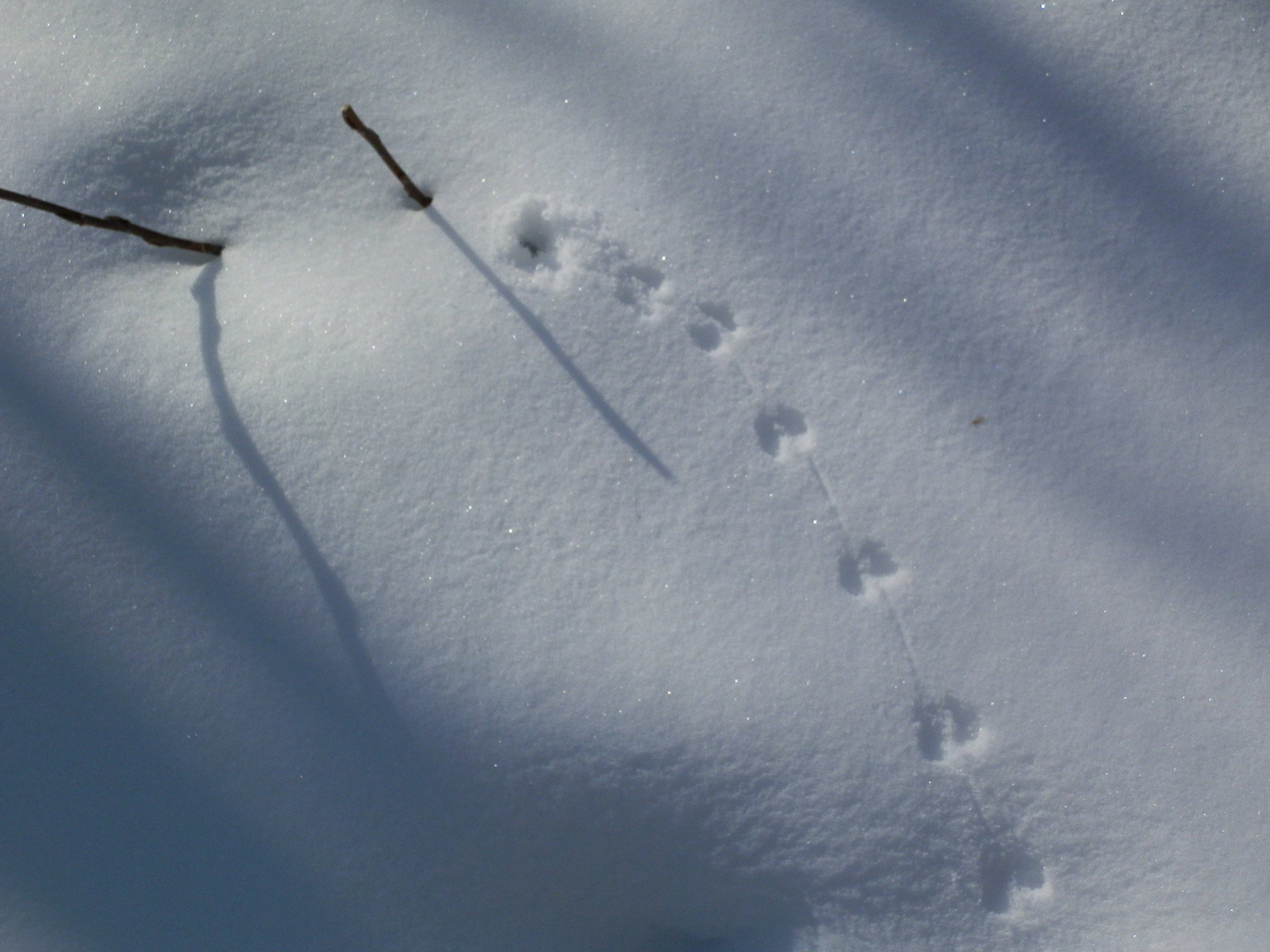 Skunk Tracks In Snow