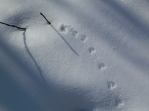 mouse or vole tracks