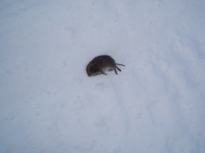 dead meadow vole