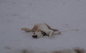 dog rolling in snow