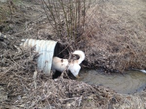 dog in a culvert
