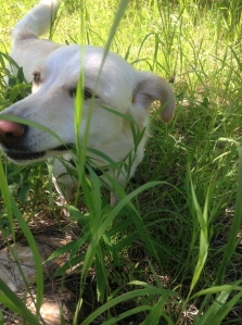 white dog eating grass