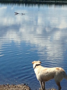dog watching loons