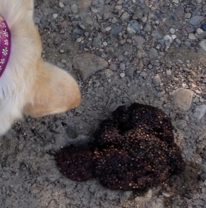 bear poop