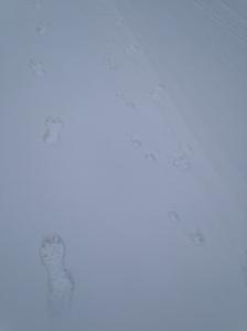 human, dog, wolf