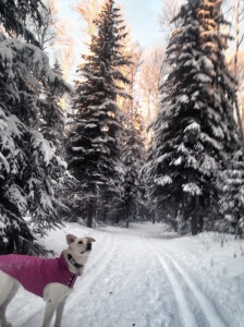 dog on ski trails