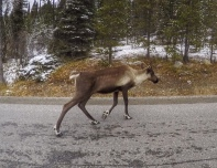 Caribou sighting